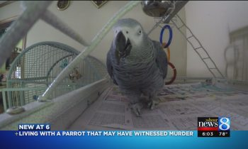 Meet Bud: Parrot, possible murder witness