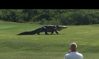 Giant Gator Walks Across Florida Golf Course