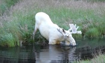 A Rare White Moose Has Been Captured On Video In Sweden
