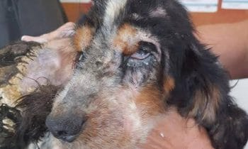 Dog Thrown Over A Fence Gets Nursed Back To Health Thanks To $11,000 In Donations