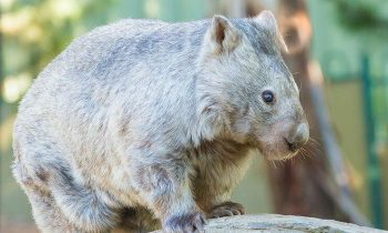 Australiaand#039;s Oldest Wombat Celebrates Her 31st Birthday With Cake