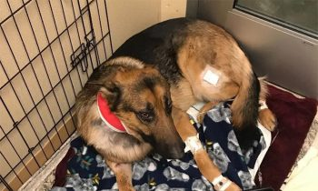 Hero German Shepherd Shot Multiple Times Saving His 16-Year-Old Owner From Burglars