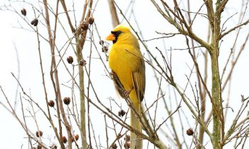 Extremely Rare Yellow Cardinal Has Been Photographed In Alabama