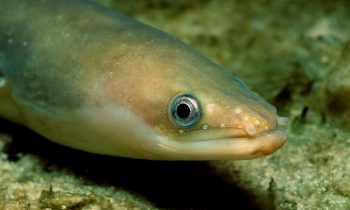 European Rivers Are So Polluted That Eels Are Getting High On Cocaine