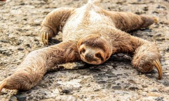 Sloths Poop Once A Week And It's As Painful As Childbirth