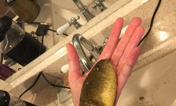Researchers Find Giant Bullfrog Tadpole In Arizona Pond