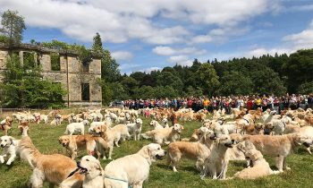 361 Golden Retrievers Gathered In Scotland To Celebrate The 150th Anniversary Of Their Breed