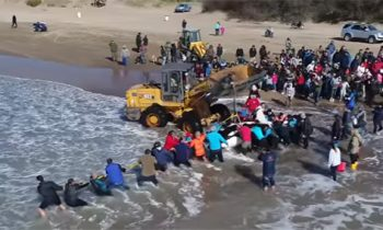 Watch The Amazing Rescue Of A Beached Orca